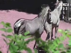 Videos Zoofilia Zebra fazendo sexo e gozando gostoso