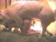 Gay maduro dando o cuzão rasgado para um porco gigante dotado