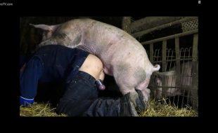 Gordo puto rasga o cu com pau grande do porco imenso no curral