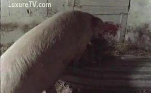 Puta rasga a buceta com pau do porco gigante no curral da fazenda